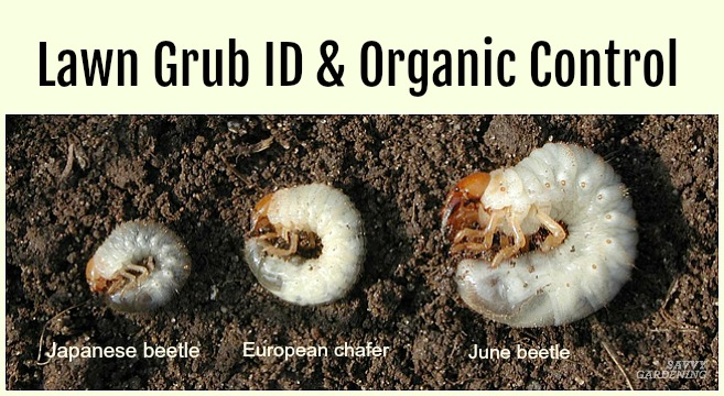 Get Rid of Grubs guide