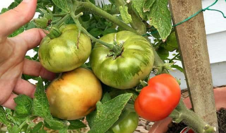 Tomatoes Not Turning Red