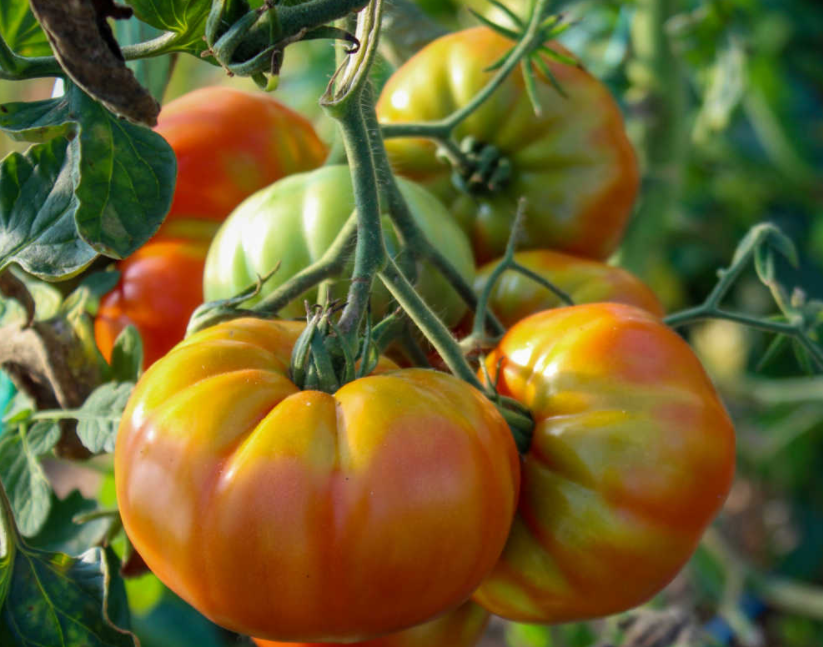 When Do Tomatoes Turn Red