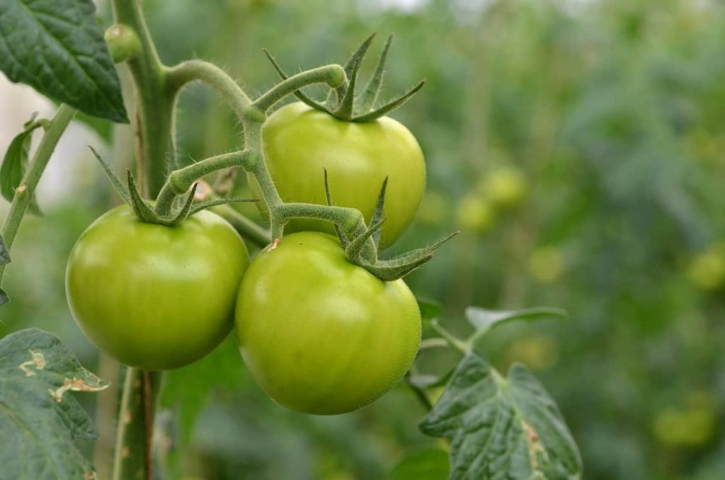 Reasons Why Your Tomatoes Are Not Turning Red