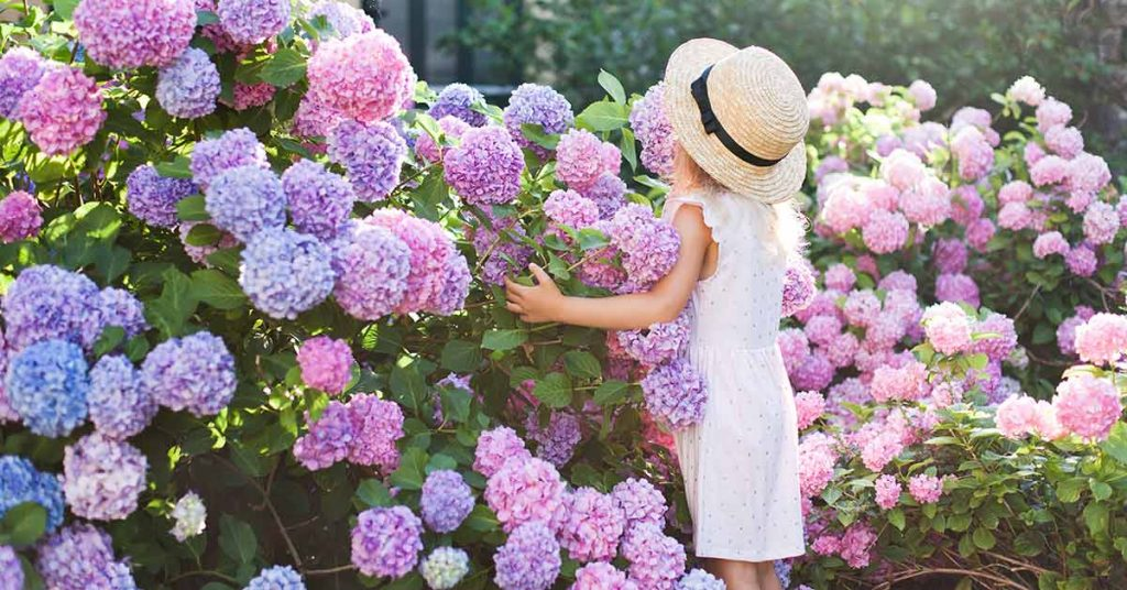 Picking Out the Perfect Hydrangeas