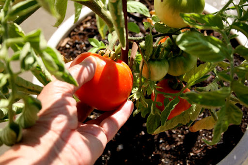 tomatoes Ripen On The Vine